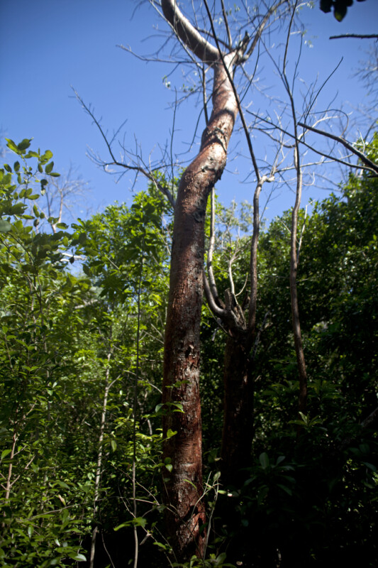 Gumbo Limbo Tree at Windley Key Fossil Reef Geological State Park