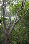 Gumbo-Limbo Tree Branches