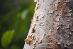 Gumbo-Limbo Tree with Peeling Bark