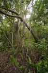 Gumbo-Limbo Trees Amongst Ferns and Schefflera
