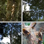 Gumbo-Limbo Trees photographs