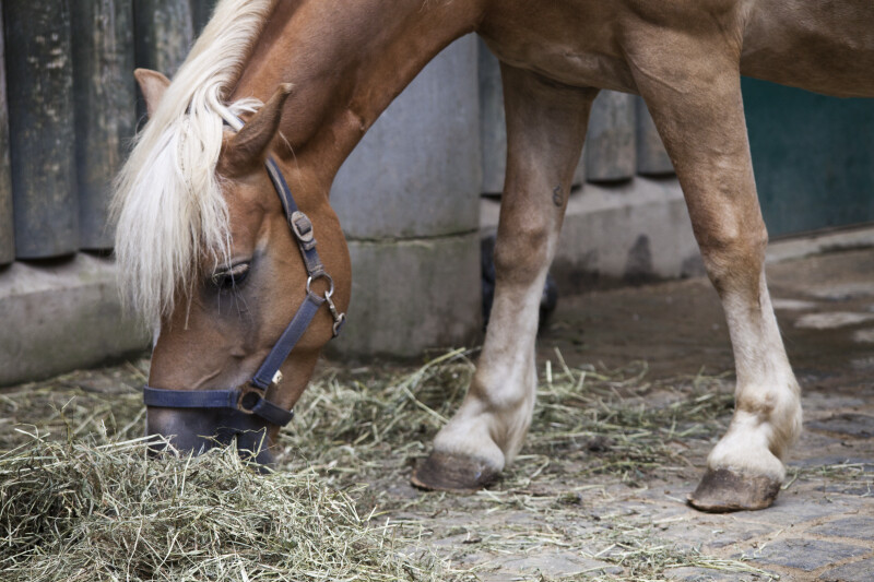 Haflinger Horse Eating