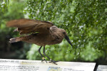 Hammerkop Flapping its Wings