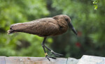 Hammerkop from Side