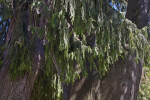 Hanging Branches and Bark of a Mourning Cypress