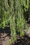 Hanging Branches of a Mourning Cypress Tree with Scale-Like Leaves
