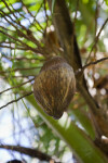 Hanging Coconut