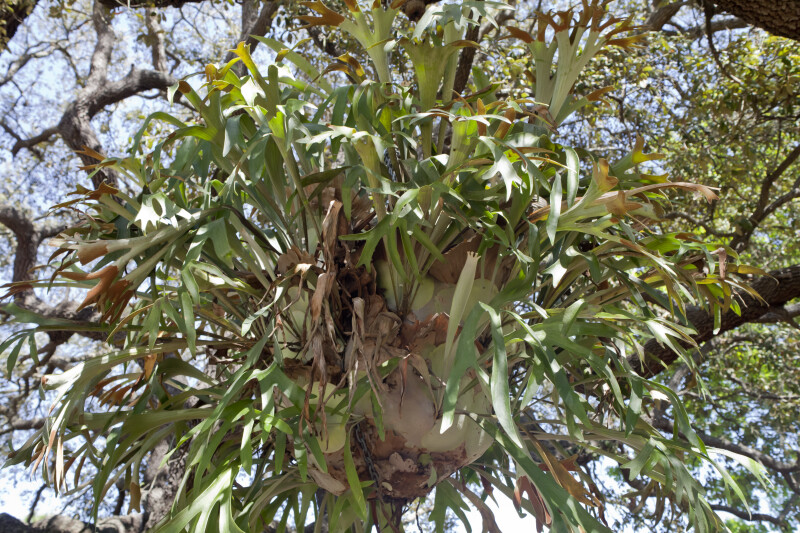 Hanging Elkhorn Fern
