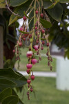 Hanging Flowers and Flower Buds of a Strawberry Tree