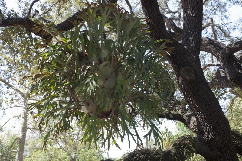 Hanging Staghorn Fern