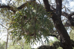 Hanging Staghorn Fern