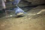 Hardhead Sea Catfish