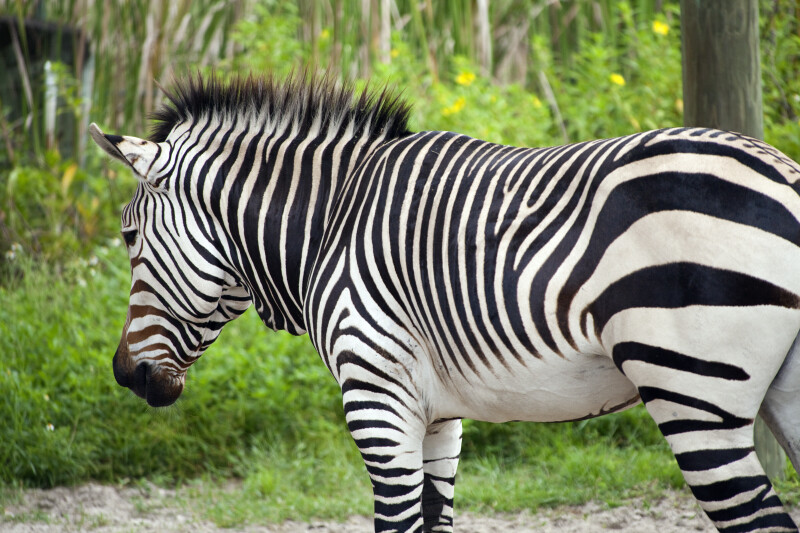 Harmann's Mountain Zebra Side