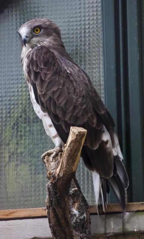 Harrier Eagle