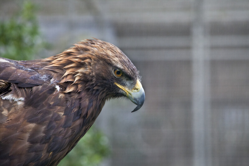 Harris' Hawk Looking Down