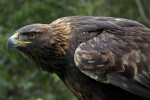 Harris' Hawk Looking Left
