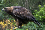 Harris' Hawk on Perch