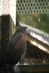 Harris's Hawk Looking Out