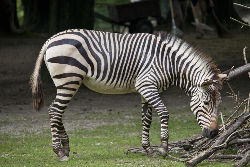 Hartmann's Mountain Zebra Walking