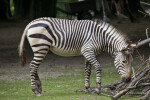 Hartmann's Mountain Zebra Walking