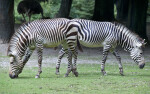 Hartmann's Mountain Zebras Foraging