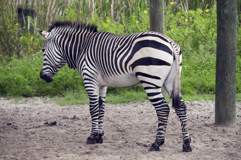 Hartman's Mountain Zebra