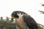 Hawk Looking Downward