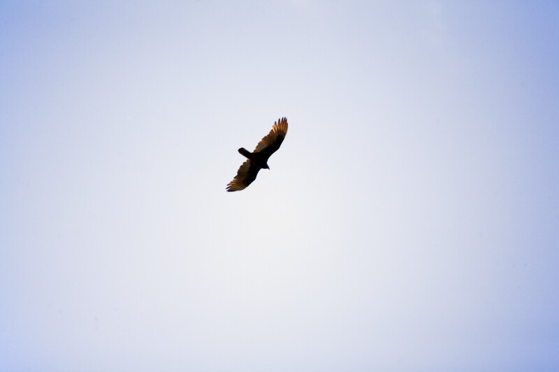 Hawk Pictured Against Clear, Blue Sky