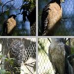 Hawks photographs
