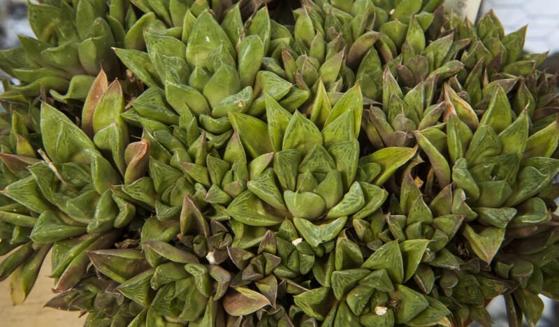 Haworthia cymbiformis