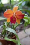 """Hazel Boyd """"Elizabeth"""" Orchid Distant View"""