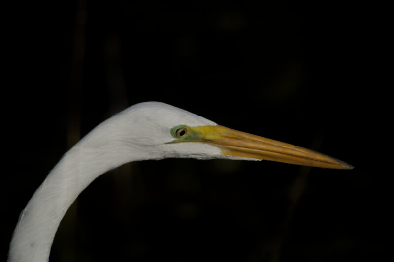 Head and Beak of Great Egret
