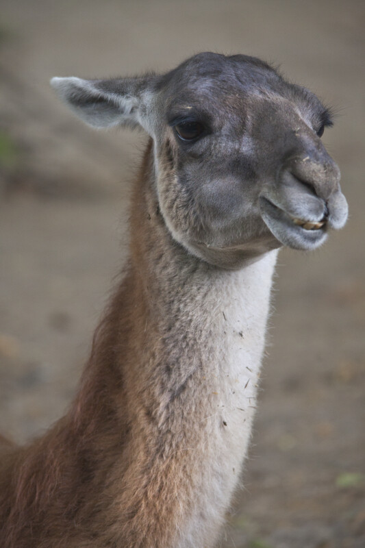 Head and Neck of Llama