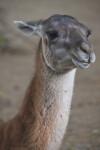 Head and Neck of Llama