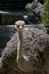 Head and Neck of Ostrich