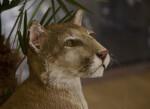 Head of a Stuffed Bobcat