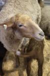 Head of a Tunis Sheep