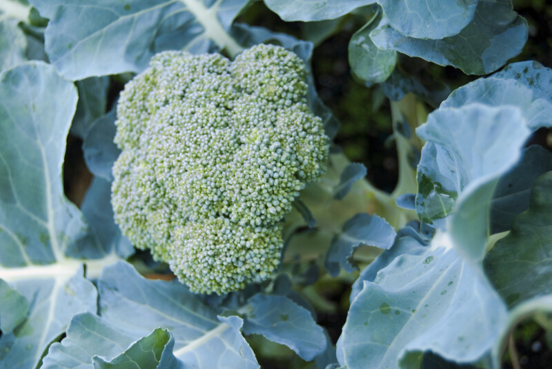 Head of Broccoli