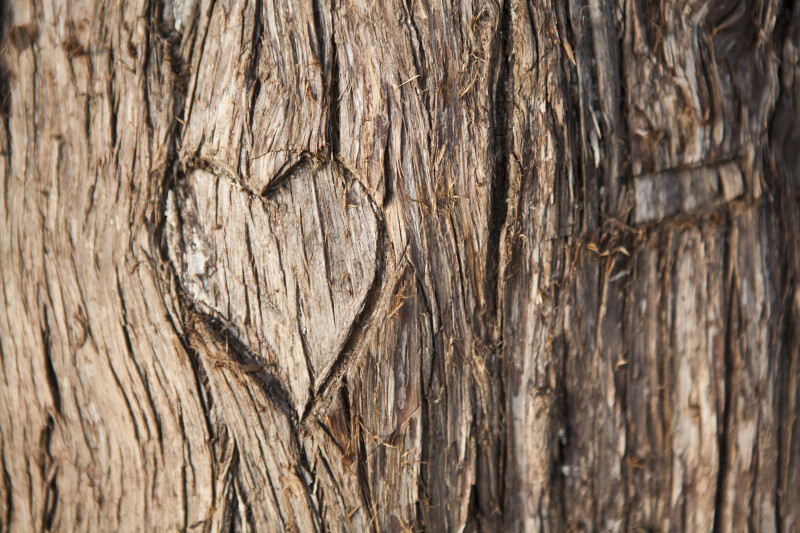 Heart Engraved in a Tree