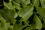 Heart-Shaped Leaves of a Common Lilac