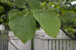 Heart-Shaped Leaves of a Redbud Tree