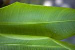 Heliconia latispatha Leaf