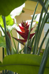 Heliconia sp. Red Flowers and Green Stems