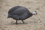 Helmeted Guineafowl in Gravel at the Artis Royal Zoo