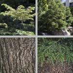 Hemlock Trees photographs