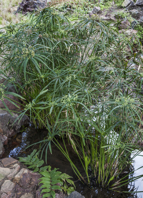 Herbaceous Plant Growing from a Small Puddle Between Rocks