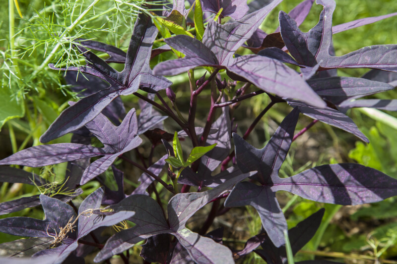 Herbaceous Plant with Greyish-Purple Leaves