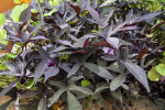 Herbaceous Plant with Irregularly-Shaped Leaves