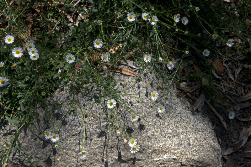Herbaceous Plant with Small Flowers that are Hanging Over a Rock