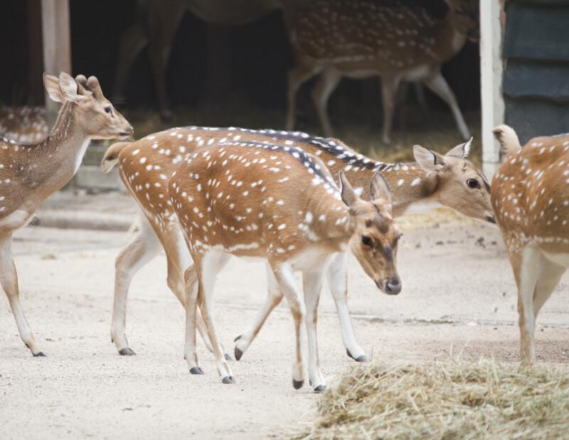 Herd of Axis Deer at the Artis Royal Zoo